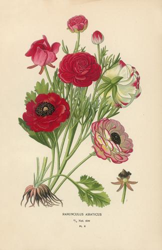 Botanical Print RAnunculou